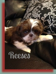 reeses2 230x300 Puppies for sale page