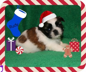 rudy 300x251 Puppies for sale page