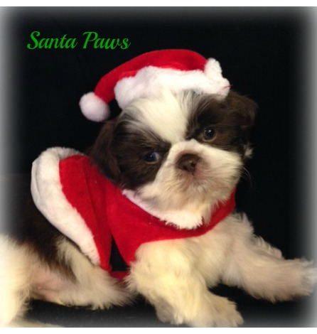Shih Tzus Breeder Shih Tzu Puppies