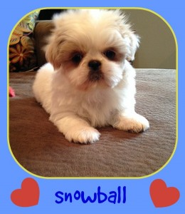 snowball3 260x300 Puppies for sale page