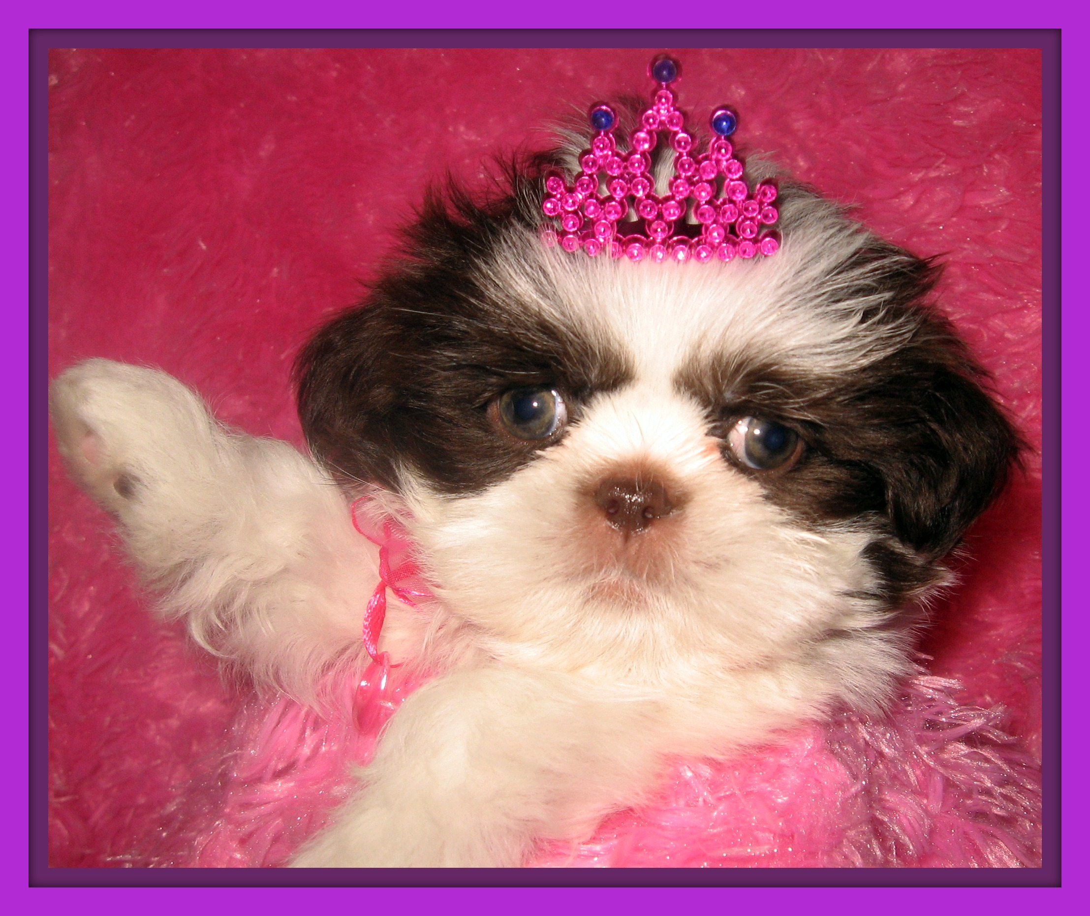 Shih Tzu Puppies  Cleveland Ohio Puppies For Sale  View Original